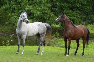 Sandy Hill Arabians Celebrating 50 Years with the Arabian Horse!